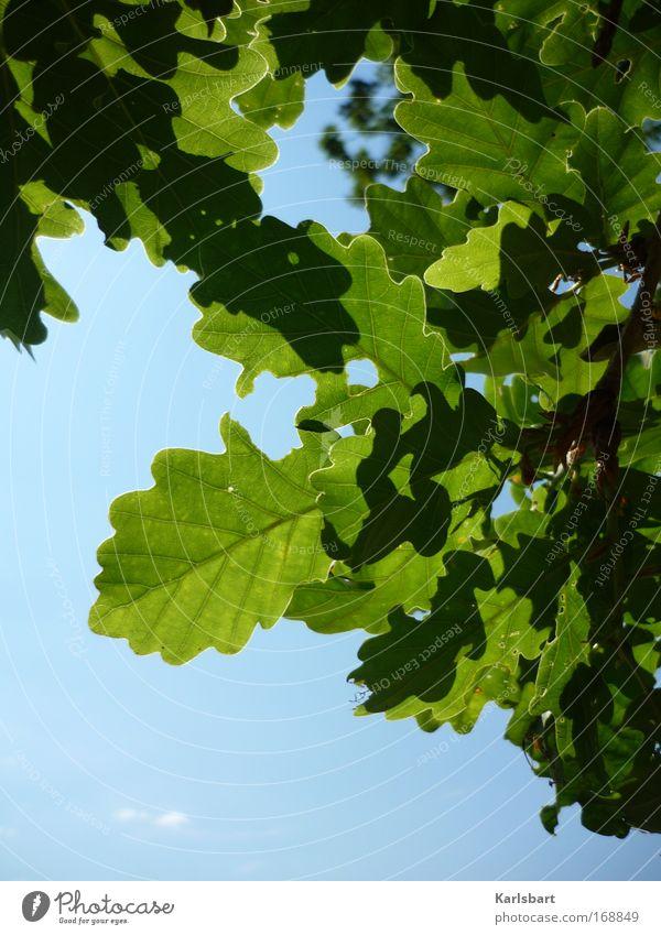 das hängen der blätter während des vorgangs des gehens. Leben Wohlgefühl Sinnesorgane Erholung Sommer Natur Himmel Schönes Wetter Baum Blatt Eiche Eichenblatt