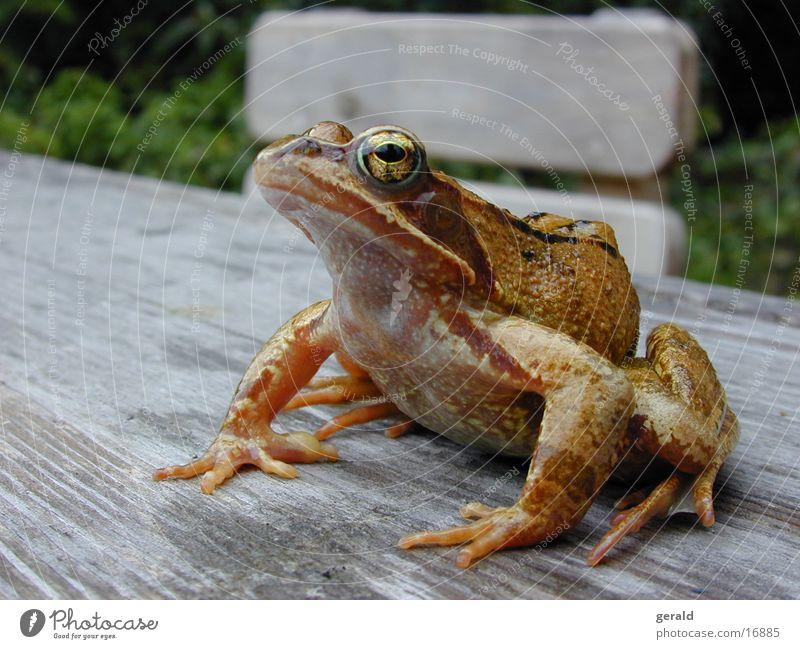 Frosch grün Auge Garten Laubfrosch Froschlurche
