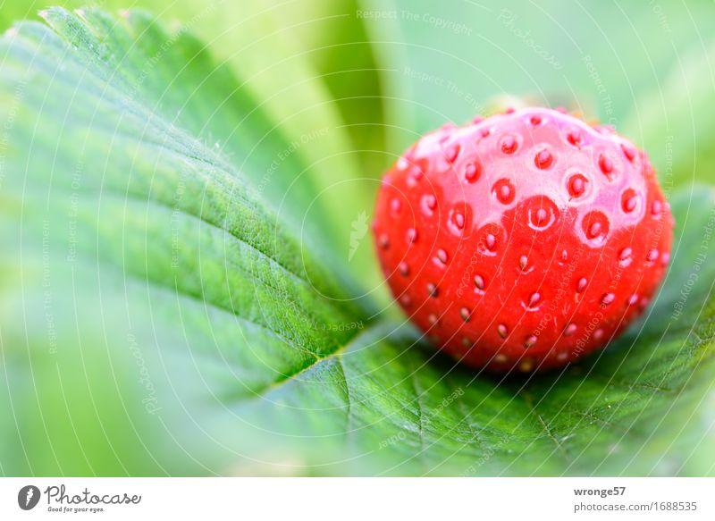 Erdbeerzeit II Sommer grün rot Blatt Gesundheit Lebensmittel Frucht glänzend Feld frisch Ernährung süß lecker Vegetarische Ernährung Erdbeeren saftig
