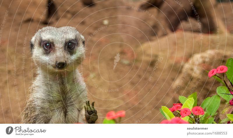 Hi Natur Landschaft Tier Wildtier Tiergesicht 1 warten Sehnsucht gefangen Gefängniszelle Traurigkeit Erdmännchen Pfote Blume Blüte Farbfoto mehrfarbig