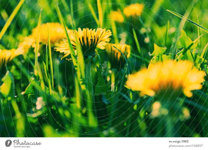Löwenzahn - Vorsicht bissig II Farbfoto Außenaufnahme Nahaufnahme Abend Sonnenlicht Starke Tiefenschärfe Natur Pflanze Frühling Blume Gras Blüte Wiese natürlich