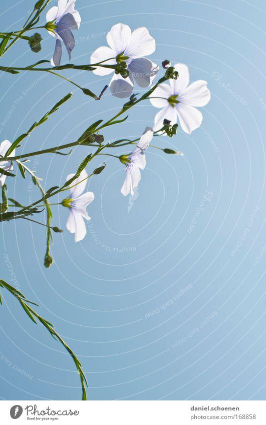 hellblau Detailaufnahme Makroaufnahme Menschenleer Textfreiraum rechts Textfreiraum unten Hintergrund neutral Natur Pflanze Himmel Wolkenloser Himmel Blume