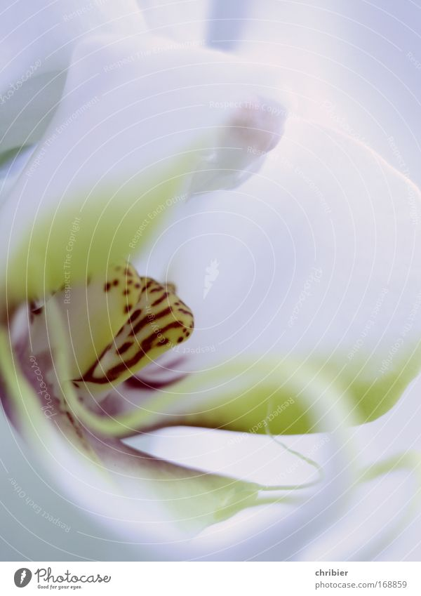 Mitten ins Herz Natur schön weiß Blume Pflanze rot ruhig gelb Glück elegant Wachstum Romantik zart Duft exotisch Orchidee