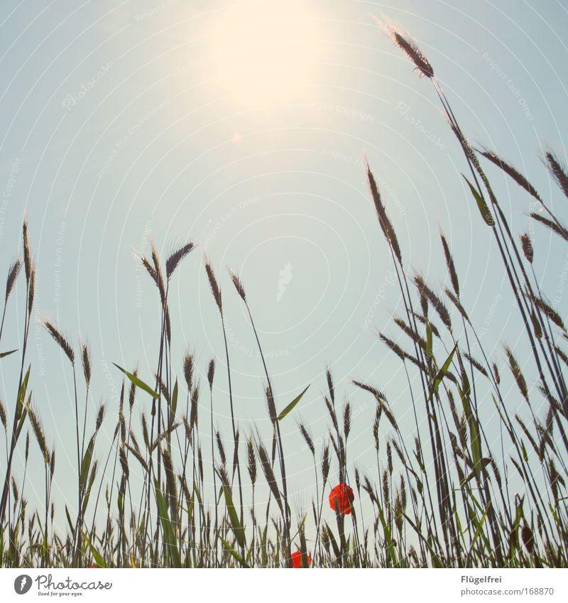 An einem Mohntag im Sommer... III Natur Wolkenloser Himmel Schönes Wetter Pflanze Feld leuchten Wachstum blau Warmherzigkeit Leben Mohnblüte Kornfeld Sonne
