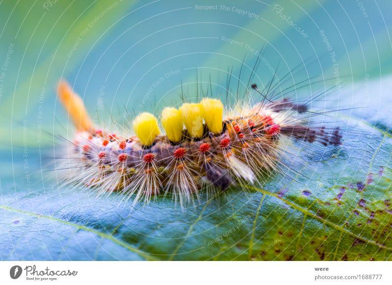 Besenmonster Natur Tier Schmetterling Schlange Fell 1 exotisch fantastisch gruselig Umweltschutz Biotop Flora und Fauna Insekt Kleiner Bürstenspinner Motte