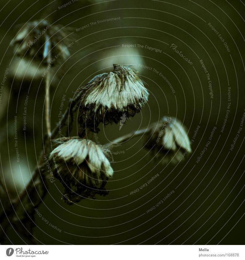 Was vom Sommer übrig bleibt Natur Blume Pflanze Winter dunkel Herbst Tod Blüte Gras Traurigkeit braun Umwelt Trauer trist Ende Vergänglichkeit