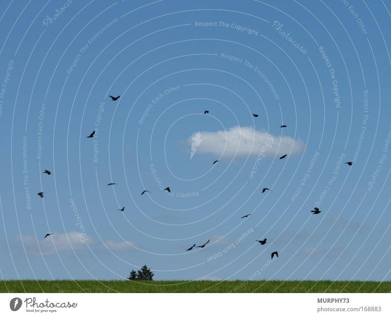 Krähenschwarm in Blau... Natur Himmel Baum grün blau Pflanze Wolken Tier Wiese Gras Frühling Landschaft Vogel Umwelt fliegen Tiergruppe