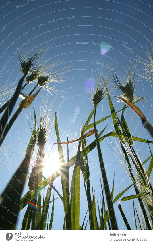 fröstelzitterbibberschniefhust Sonne grün blau Wiese Gras Wärme Zufriedenheit Feld genießen Korn Schönes Wetter Kornfeld Ähren Frühlingsgefühle Wolkenloser Himmel