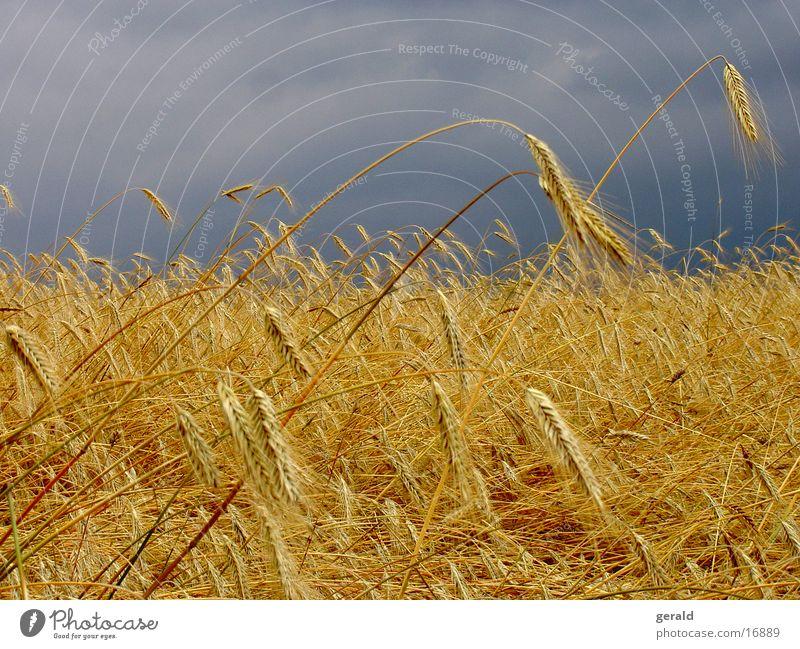 kornfeld Wolken Ernte Unwetter Kornfeld Landwirtschaft