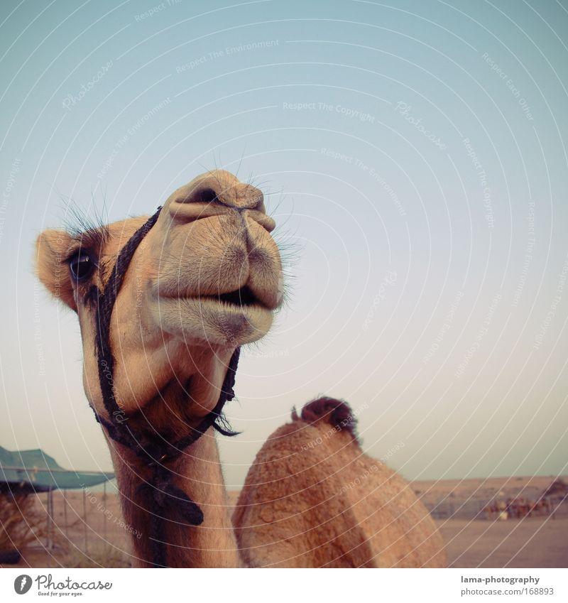 kamelografie schön Ferien & Urlaub & Reisen Tier Sand Tourismus Wildtier Tiergesicht Neugier Wüste Zoo Lächeln edel kuschlig Nutztier Reiten Dubai