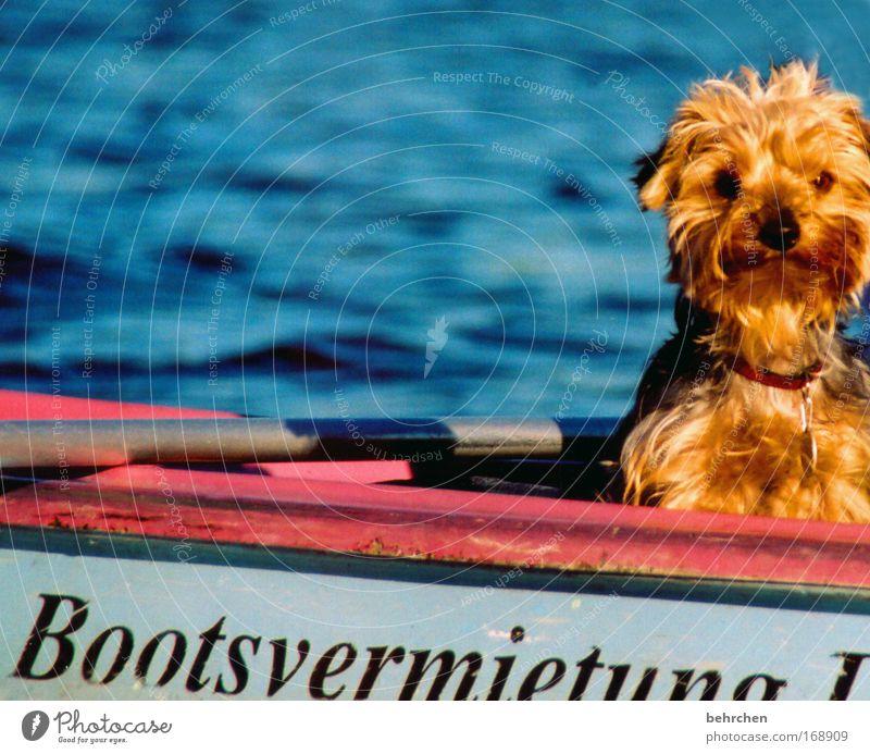 wenn ich groß bin, werd ich kapitän Wasser Sommer Auge Hund See Wasserfahrzeug Zufriedenheit Wellen Nase süß Fluss Fell niedlich Schönes Wetter Haustier