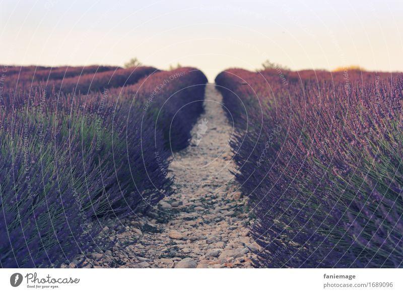 soirée aux champs Natur Sommer schön Landschaft Wärme Wege & Pfade rosa Horizont Feld Idylle Blühend Schönes Wetter Romantik Fußweg Spaziergang violett