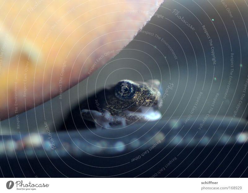Zunge rein! Farbfoto Makroaufnahme Froschperspektive Wasser Moor Sumpf Teich Tier Aquarium 1 Stein niedlich rebellisch Kaulquappe winzig frech rund überrollen