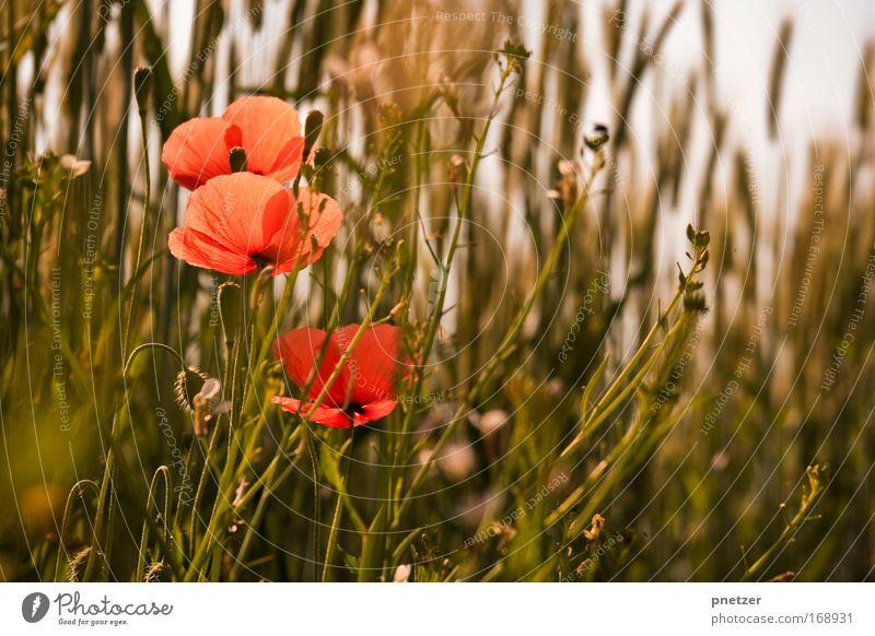 Mohn Natur Blume Pflanze Freude Blüte Gras Frühling Glück Park Feld Fröhlichkeit Sträucher Mohn Grünpflanze