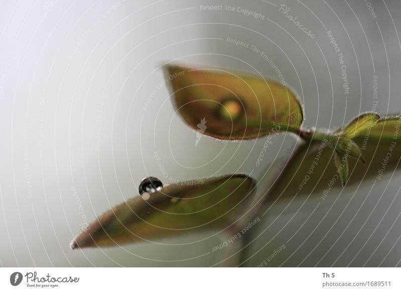 Tropfen Natur Pflanze Frühling Sommer Regen Blatt ästhetisch authentisch einfach elegant frisch nass natürlich grau grün Gelassenheit geduldig ruhig einzigartig