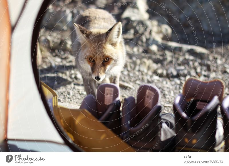 Ferien & Urlaub & Reisen Tier Winter Berge u. Gebirge grau Tourismus orange wild Angst wandern Wildtier Schuhe Geschwindigkeit niedlich Abenteuer Klettern