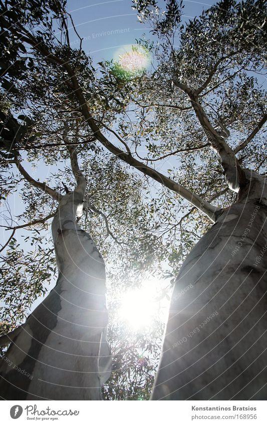 MITTENDURCH Farbfoto Außenaufnahme Menschenleer Tag Sonnenlicht Sonnenstrahlen Gegenlicht Froschperspektive Natur Himmel Sommer Schönes Wetter Baum gigantisch