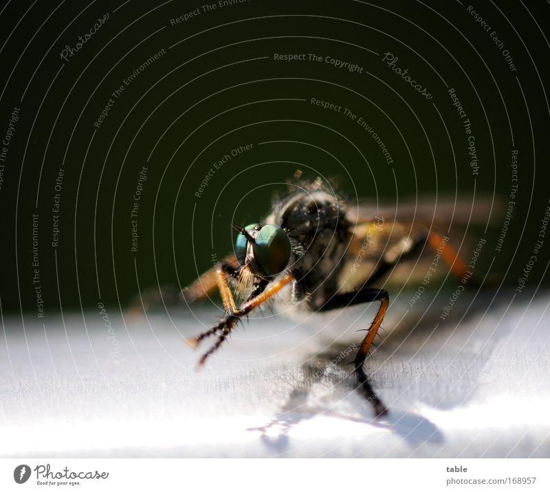 Einhorn Natur grün schwarz Auge Tier dunkel Bewegung Freiheit braun glänzend klein Fliege fliegen Insekt beobachten natürlich