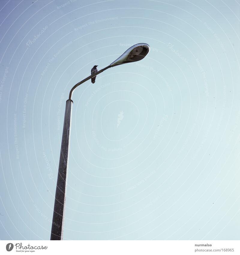 mit Rabe, ohne Birne. Farbfoto Morgen fliegen Lampe Umwelt Pflanze Tier Himmel Wolkenloser Himmel Sommer Kleinstadt Straßenverkehr Laterne Landebahn Wildtier