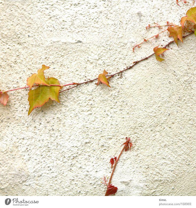 Haftungsfrage Wein Wand Klettern kleben 2 Frühling Pflanze Putz Ranke krabbeln Wachstum quer durchs Bild aufwärts Dekoration & Verzierung Schmuck Natur Blatt