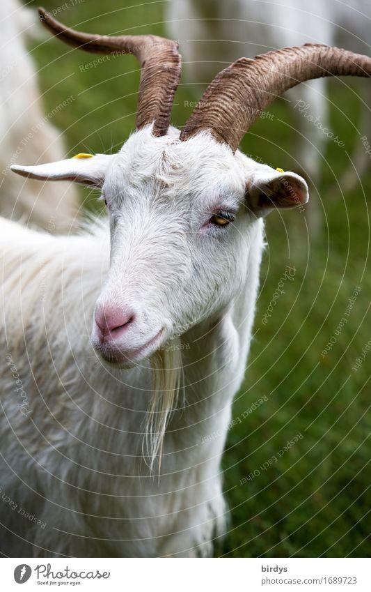 glückliche Ziege schön grün weiß Tier Wiese natürlich braun Zufriedenheit Kraft ästhetisch beobachten Freundlichkeit Landwirtschaft positiv Tiergesicht