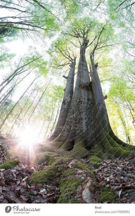 Sommerwald Natur alt Pflanze Sommer grün Sonne Baum Landschaft Blatt Wald Umwelt natürlich hell Wachstum groß Lebensfreude