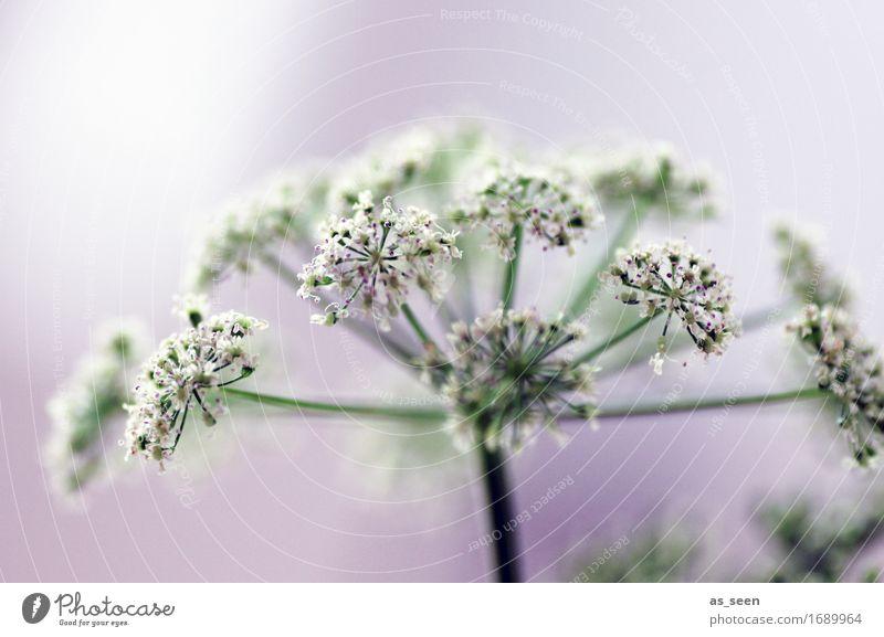 Sommerträume Wellness harmonisch ruhig Garten Umwelt Natur Pflanze Herbst Wildpflanze Gefleckter Schierling Gewöhnliche Schafgarbe Feld Dekoration & Verzierung