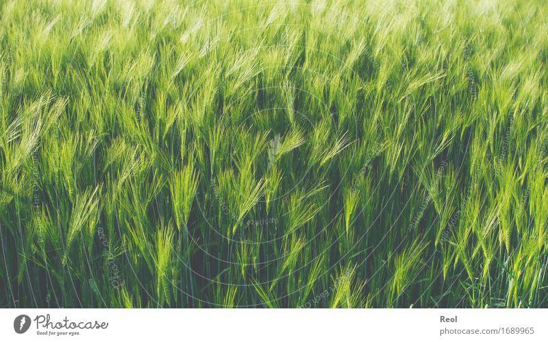 Gerstenfeld Natur Landschaft Pflanze Schönes Wetter Nutzpflanze Getreide Getreidefeld Feld grün Wachstum Jahreszeiten Ackerbau Lebensmittel Landwirtschaft