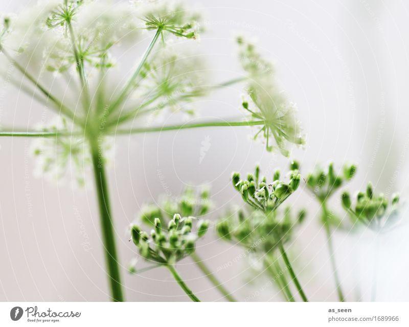 Sommersterne Lifestyle Wellness Leben harmonisch Sinnesorgane Umwelt Natur Pflanze Grünpflanze Wildpflanze Gefleckter Schierling Gewöhnliche Schafgarbe Blüte