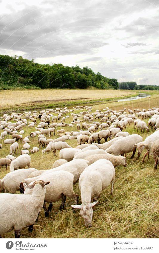 Öko-Rasenmääääher Natur Landschaft Tier Himmel Wolken Wiese Haustier Nutztier Schaf Herde Fressen Zufriedenheit Zusammenhalt Wolle Fell Schurwolle Säugetier