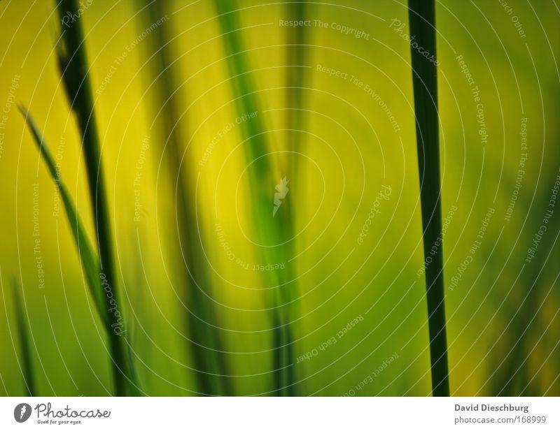 Gemälde einer Wiese II Natur grün schön Pflanze schwarz gelb Umwelt Gras Linie Wachstum Halm Bildausschnitt vertikal Anschnitt Grünpflanze Wildpflanze