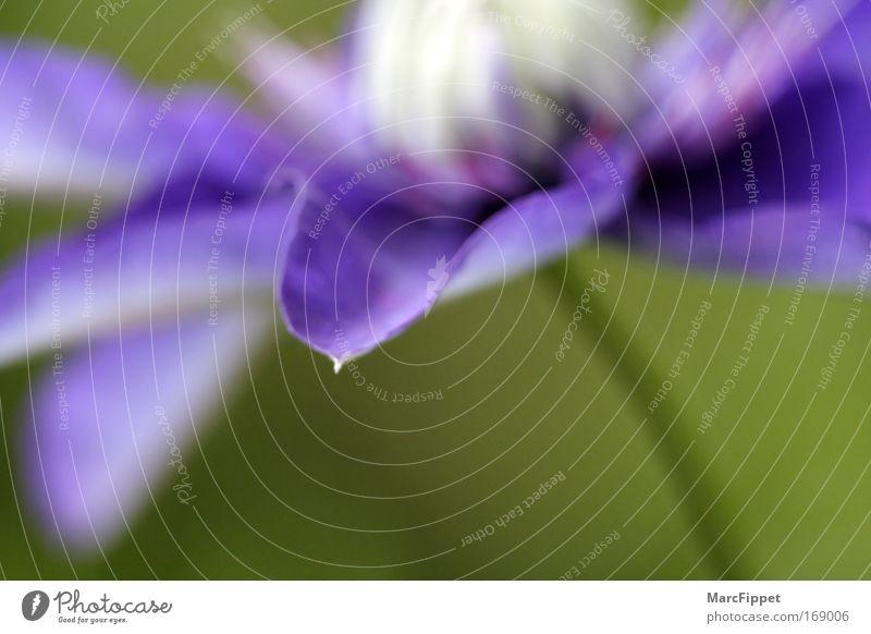 Clematis Natur blau grün Pflanze Blume Farbe ruhig Blüte ästhetisch weich violett zart Duft Makroaufnahme