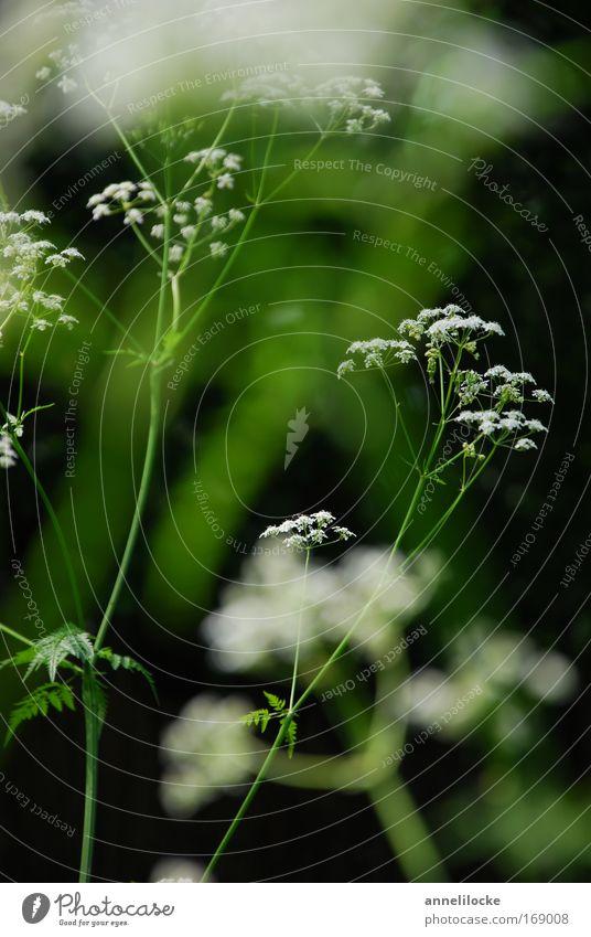 filigranes Pflanzenwerk Natur weiß grün schön Pflanze Sommer Blume Wiese Frühling Blüte Park Feld wild ästhetisch zart filigran