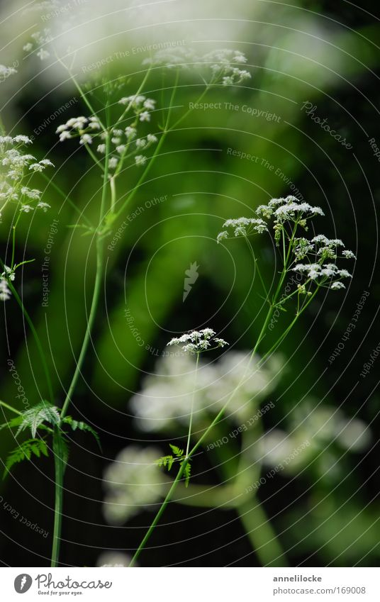filigranes Pflanzenwerk Natur weiß grün schön Sommer Blume Wiese Frühling Blüte Park Feld wild ästhetisch zart