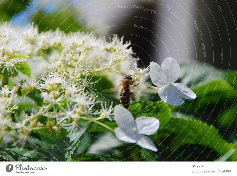 das mit den Bienen und den Blumen Farbfoto Außenaufnahme Nahaufnahme Makroaufnahme Menschenleer Natur Pflanze Frühling Sommer Blüte Wiese Tier 1 fliegen Duft
