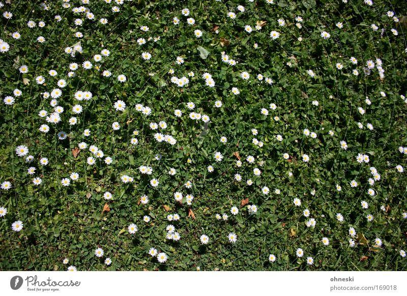 Sonnenblumen Farbfoto Sonnenlicht Vogelperspektive Natur Schönes Wetter Blume Blüte Gänseblümchen Garten Wiese natürlich gelb grün weiß Optimismus Leben Muster