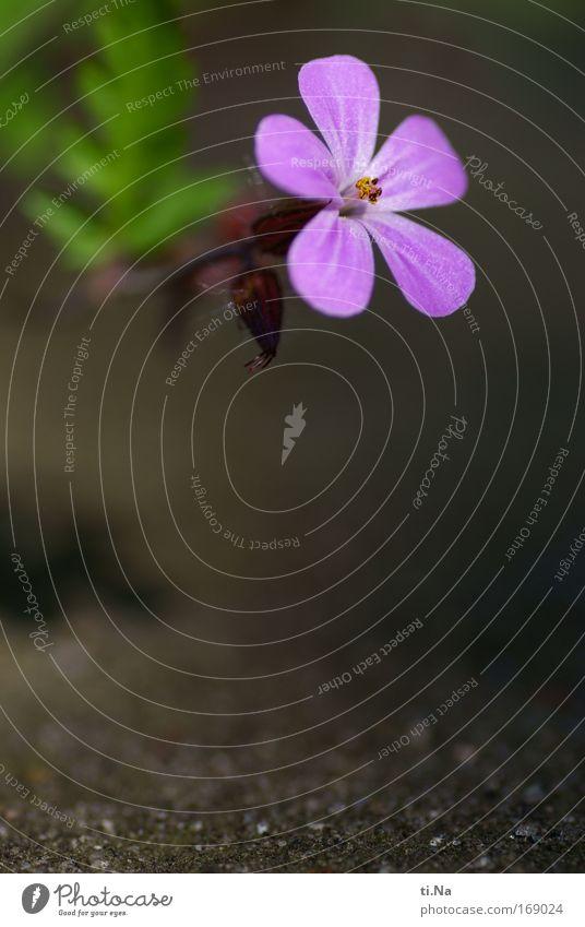 am Abgrund Farbfoto Außenaufnahme Tag Umwelt Natur Landschaft Pflanze Tier Erde Frühling Blume Blüte Wildpflanze Storchschnabel Storchschnabelgewächse Park