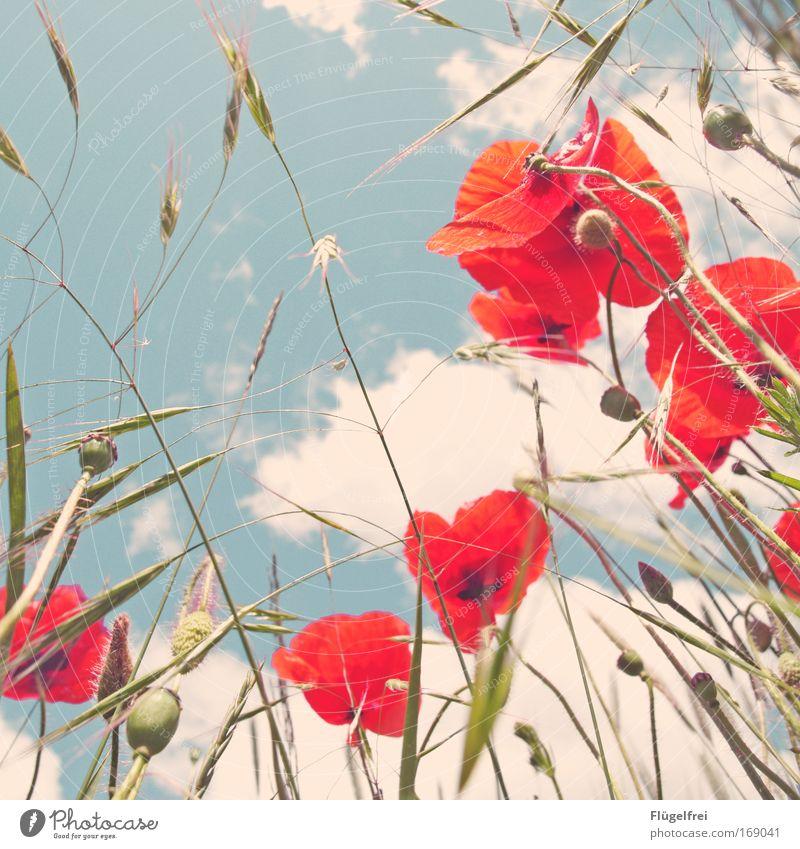 An einem Mohntag im Sommer... IV Himmel Natur blau Wolken Gras Feld Wachstum Schönes Wetter Idylle Blühend altehrwürdig Frühlingsgefühle Mohnblüte