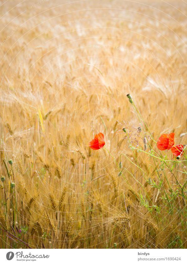 kein Bett im Kornfeld Getreide Gerstenfeld Landwirtschaft Forstwirtschaft Sommer Schönes Wetter Wind Blume Blüte Nutzpflanze Klatschmohn Feld Bewegung Blühend