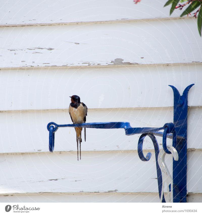 schwarzsehen   EINE Schwalbe... blau weiß Einsamkeit Haus Tier klein Vogel Linie Fassade Metall sitzen warten einzigartig beobachten weich Freundlichkeit