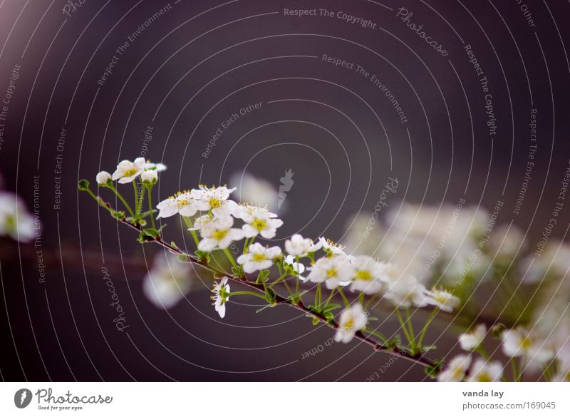 Zart Natur schön weiß Blume Pflanze Blüte grau klein Umwelt Sträucher zart viele unschuldig