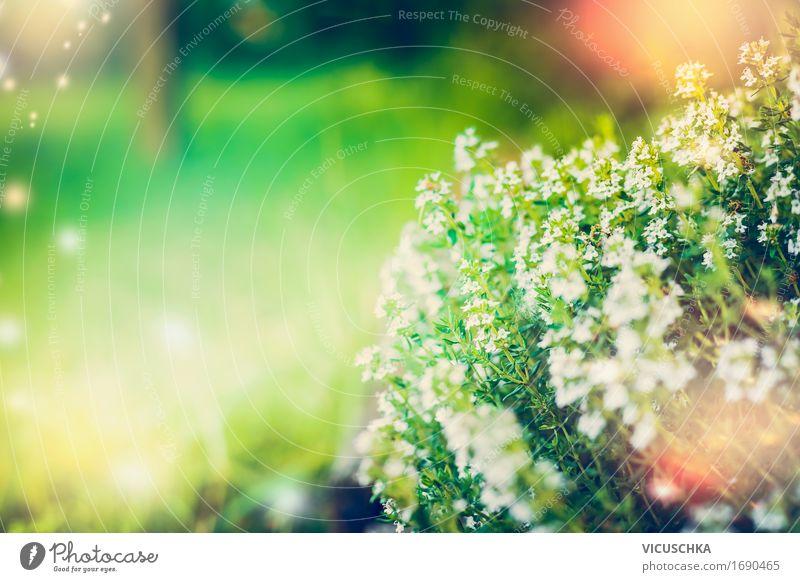 Wilde Thymian Lifestyle Design Leben Sommer Garten Natur Pflanze Herbst Schönes Wetter Blatt Blüte Park Wiese gelb rosa Duft grün Sonnenlicht wild Heilpflanzen
