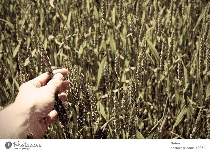 Auf Tuchfühlung... Lebensmittel Getreide Bioprodukte Hand Finger Umwelt berühren Weizen Weizenfeld Getreidefeld Kornfeld Ackerbau Landwirt Weizenkörner