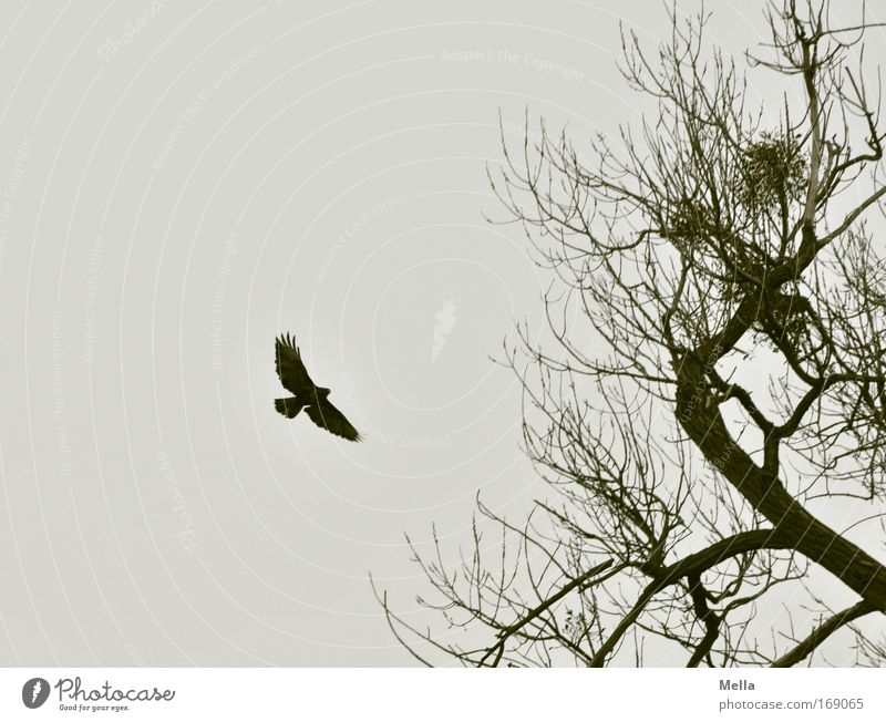 Poem Umwelt Natur Pflanze Tier Himmel Herbst Winter Baum Wildpflanze Ast Baumkrone Wildtier Vogel Flügel Bussard Mäusebussard Greifvogel 1 fliegen dunkel frei