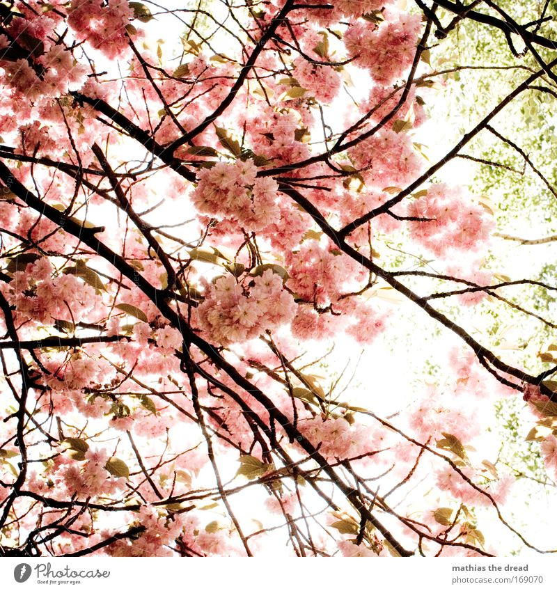POLLENFLUG Farbfoto Außenaufnahme Menschenleer Morgen Tag Licht Schatten Kontrast Sonnenlicht Gegenlicht Natur Pflanze Frühling Schönes Wetter Baum Blüte Garten