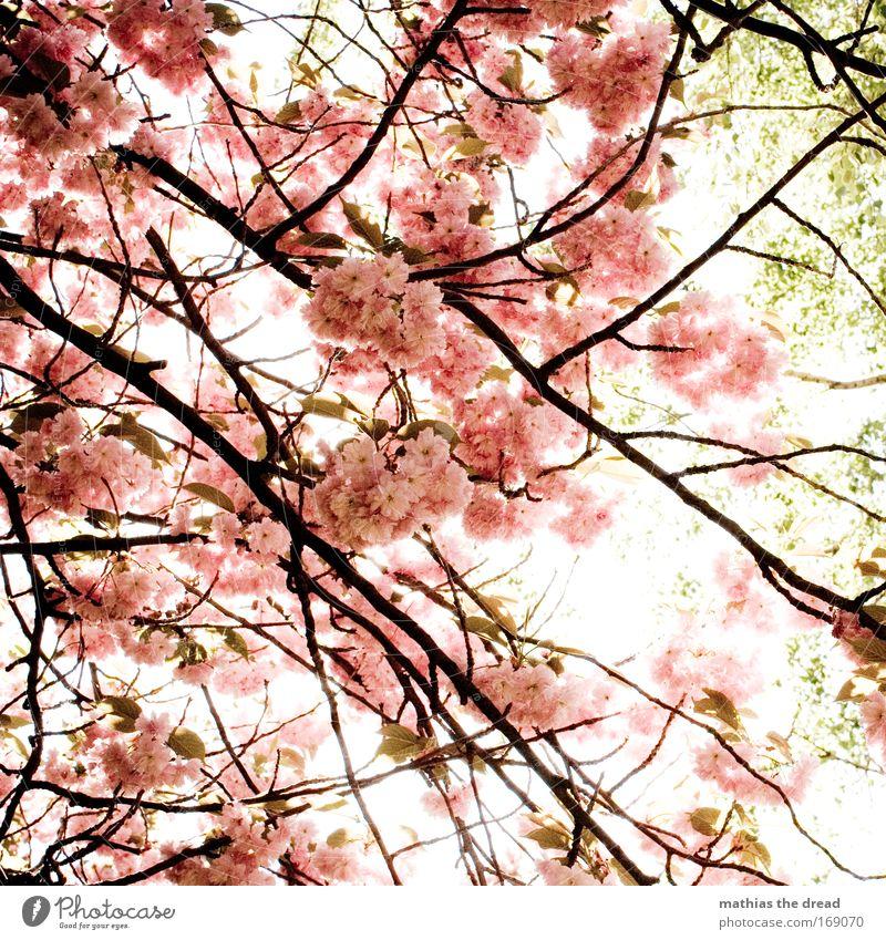 POLLENFLUG Natur schön Baum Sonne Pflanze Sommer Blüte Frühling Garten Holz Park rosa frisch neu Insekt Ast