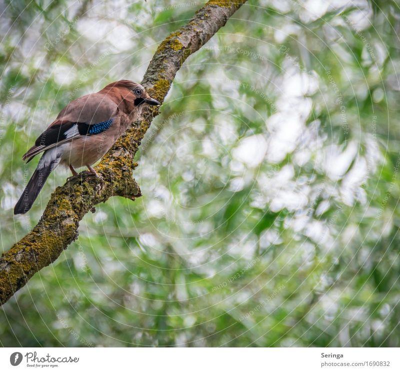 Farbtupfel Natur Pflanze Tier Baum Garten Park Wald Wildtier Vogel Tiergesicht Flügel Krallen Fährte 1 fliegen Eichelhäher Farbfoto mehrfarbig Außenaufnahme