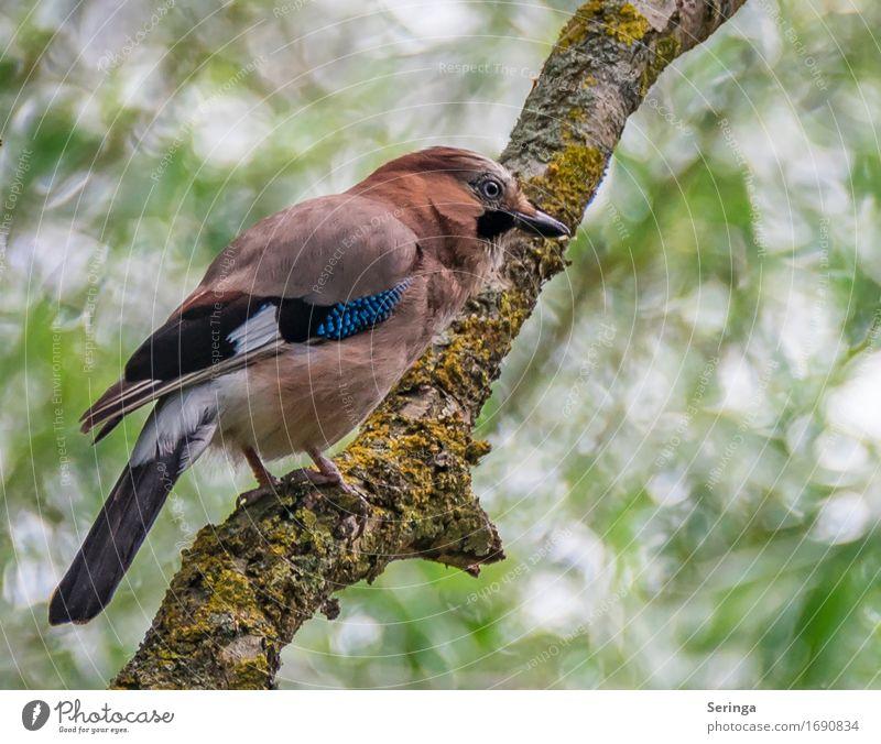 EICHELHÄHER Baum Tier Wildtier Vogel Tiergesicht Flügel Krallen 1 fliegen Eichelhäher Farbfoto mehrfarbig Außenaufnahme Nahaufnahme Detailaufnahme Menschenleer