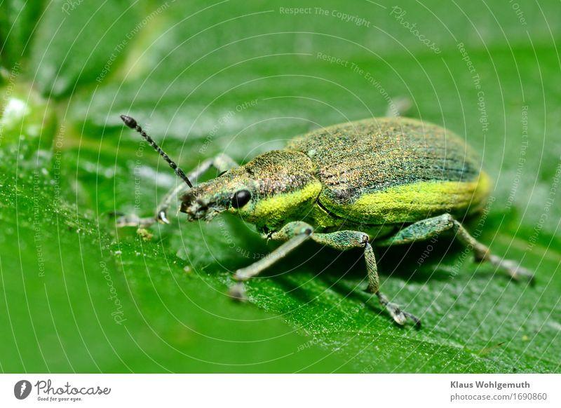 Dickes Ding Umwelt Natur Tier Frühling Sommer Grünpflanze Wiese Wald Wildtier Käfer Flügel Schuppen Gelber Rüsselkäfer 1 krabbeln sitzen gelb grün schwarz