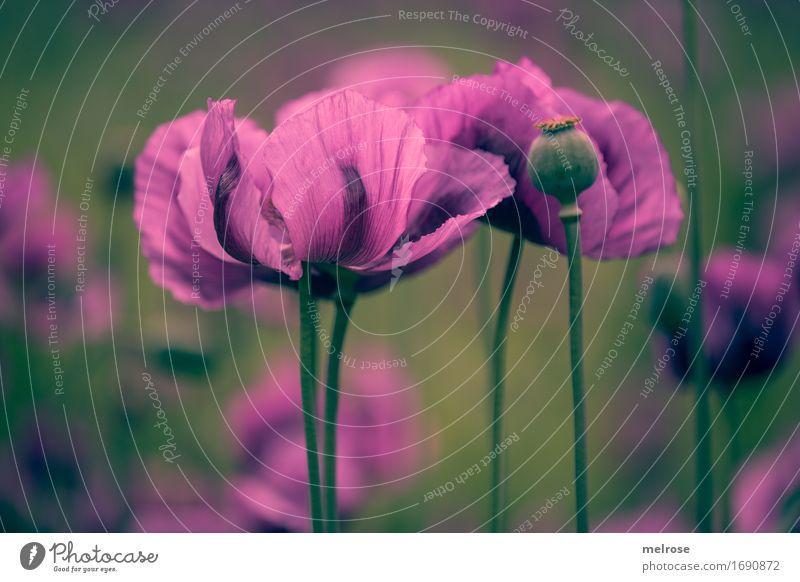 Entfaltunsmöglichkeiten Mohn elegant Stil Natur Pflanze Sommer Schönes Wetter Blume Blatt Blüte Wildpflanze Mohnfeld Klatschmohn lila Mohn Blütenstiel